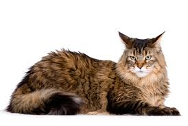 Food for Maine Coon Royal Canin