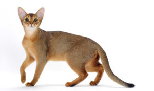 Abyssinian cat breed facts