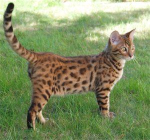 Bengal cats fact