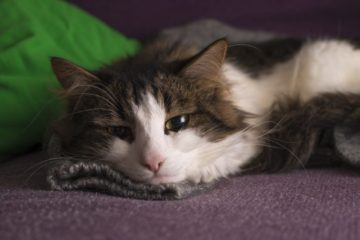 Anemia in Cats: Causes, Symptoms, Treatment.