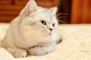 The British Shorthair cats