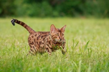 Bengal cats fact