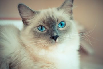Ragdoll cat breed health and care