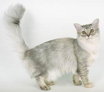 Tiffanie cat breed