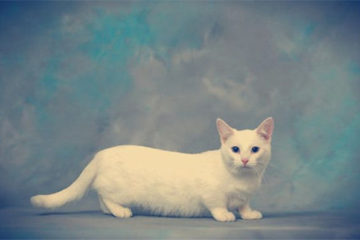 The Munchkin cat breed: review, facts