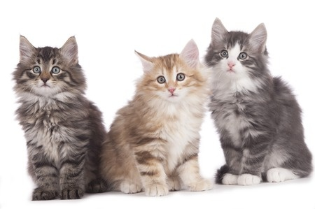 Norwegian forest cat breed: review, facts.