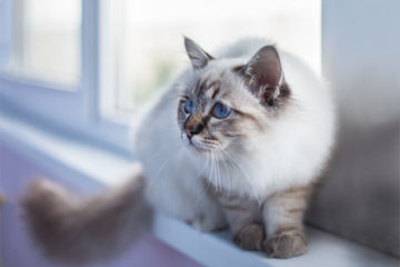 Birman Cat Breed: facts, review
