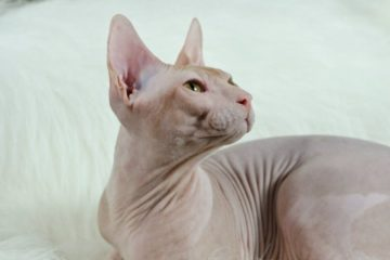 Donskoy Sphynx breed: review, facts.
