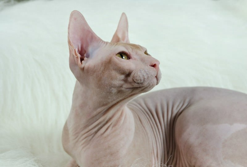 Donskoy Sphynx Breed Review Facts Cats Energies