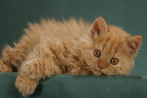 Selkirk Rex cat breed: review, facts