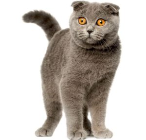 Scottish Fold cats breed