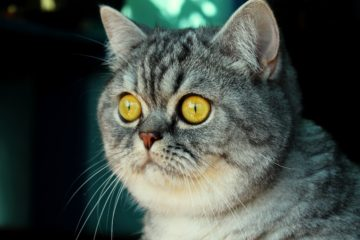 The breed cat from advertisement of Whiskas
