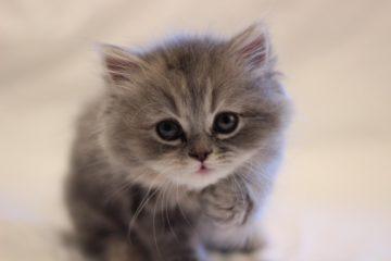 Food for Persian Kitten Royal Canin