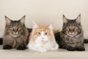 Maine Coon cats breed: facts, review