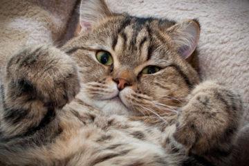 Bacillary Skin Necrosis in cats. Treatment